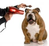 foto of bull head  - dog getting groomed  - JPG