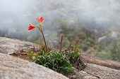 Wild Amaryllis In The Mountains