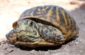 stock photo of cooter  - Pet turtle lying in the dirt looking at the camera - JPG
