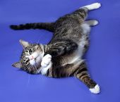 White And Striped Spotted Cat Plays On Blue