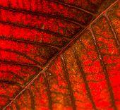 Poinsettia leaf