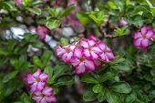 Flowering Adenium.