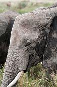 Closeup of an African elephant