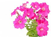 stock photo of petunia  - Pink petunia flowers isolated on white background - JPG