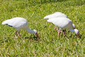 Ibis walking in the grass