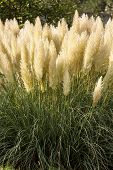 pic of pampas grass  - Cortaderia Selloana also known as Pampas Grass