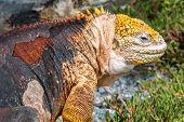 Land Iguana On Isla Plaza Sur, Galapagos, Ecuador