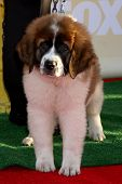 LOS ANGELES - NOV 22:  Saint Bernard puppy at the FOX's