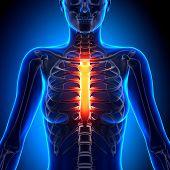 Female Sternum - Anatomy Bones