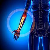Female Radius / Ulna - Forearm - Anatomy Bones