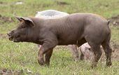 Spanish Iberian Pig