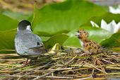 common tern feeding its chicks in the nest (sterna hirundo)