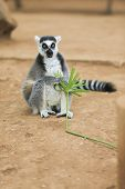 picture of tail  - A Ring-tailed lemur sits and looks around ** Note: Visible grain at 100%, best at smaller sizes - JPG