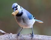 foto of blue jay  - A Blue Jay (Cyanocitta cristata) holding a peanut in it