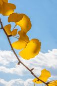 Branch of Autumn Ginkgo Leaves
