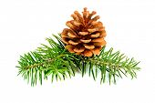 Fir branches with cones isolated on white background