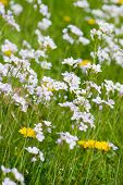 Dandelions And Cuckoo Flowers