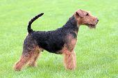 Show Position Welsh Terrier Dog On A Green Grass