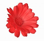 single red marigold flower isolated on white background