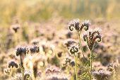 Flowering herbs at dawn