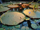 Water Lilly Pond