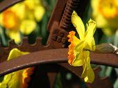 Daffodil And Machine