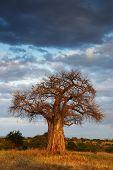 foto of baobab  - African landscape with a big baobab tree in vertical - JPG
