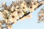White tree flowers