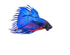 stock photo of fighter-fish  - blue crown tail thai fighing fish betta prepare to fight isolated white background - JPG