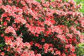 stock photo of azalea  - Azalea flowers - JPG