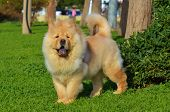 picture of hairy tongue  - Chinese Chow chow standing on green grass - JPG