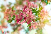 stock photo of leaked  - Blossoming cherry tree - JPG
