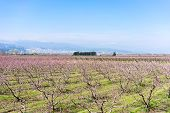 picture of orchard  - orchard of peach trees bloomed in spring - JPG