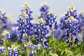 picture of bluebonnets  - Selective focus closeup with shallow dof on patch of Texas Bluebonnets  - JPG