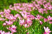 pic of lily  - Pink Zephyranthes Lily Rain Lily Fairy Lily Little Witches in the garden - JPG