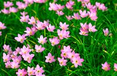 picture of lily  - Zephyranthes Lily or  Rain Lily or Fairy Lily or Little Witches in the garden - JPG