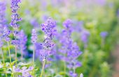 image of blue-salvia  - Blue Salvia farinacea flowers blooming in the garden - JPG