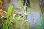 image of edible  - green edible frog also known as the Common Water Frog sits on water - JPG