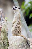 stock photo of meerkats  - Portrait Of A Meerkat animal wildlife on outdoor background - JPG