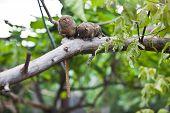 image of marmosets  - Pygmy marmoset  - JPG