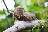 picture of marmosets  - Pygmy marmoset  - JPG