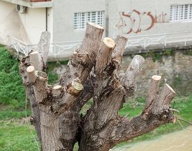 picture of prunes  - Close up of Pruned Tree detail of the pruning of the branches - JPG