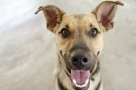 image of tong  - A happy funny cute curious German Sheppard dog is smilling with his tonge out and mouth open - JPG