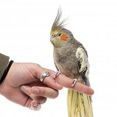 pic of cockatiel  - Cockatiel perched on a finger in front of a white background - JPG