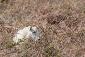stock photo of trap  - sheep trapped in bramble and bracken vegetation - JPG