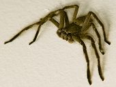 stock photo of huntsman spider  - a macro of a large huntsman spider - JPG