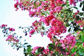 foto of crepe myrtle  - Pink colored crepe myrtle blooms in morning light - JPG