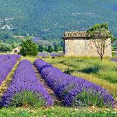 foto of plateau  - Stunning landscape with lavender field and old farmhouse under warm evening light - JPG