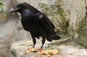 picture of common  - Common raven  - JPG