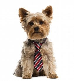 picture of saddening  - Yorkshire wearing a tie in front of a white background - JPG